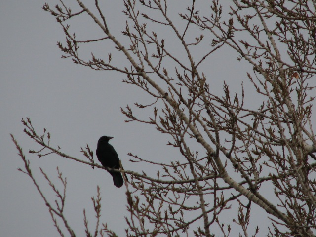 This is a crow on sentinel duty in the poplar tree. A raven has a noticeably more massive heard and bill and a wedge tail not rounded and twice or so the size.