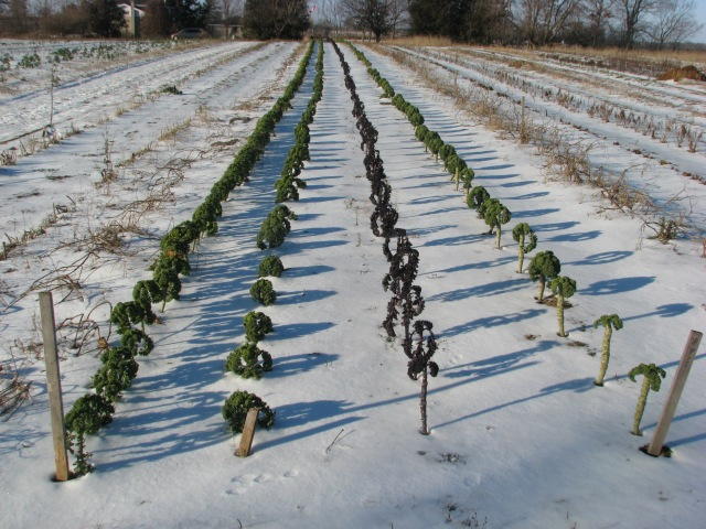 The Kale rows on January 4. Kale still perfectly fine though the leaves are small.