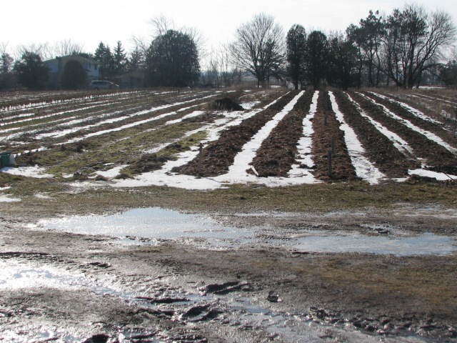 The usual garden view late Monday afternoon. Notice how we have carefully laid out the snow between the rows.