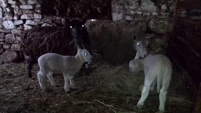Two new lambs and there two mothers.