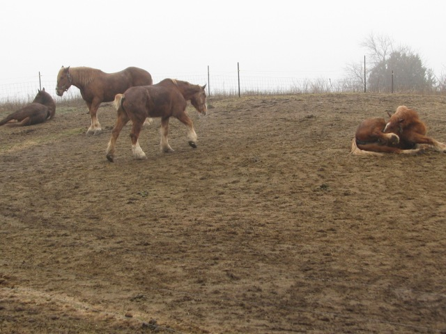 the four horses on this misty Monday morning. Still sleepy and waiting for the morning feed.