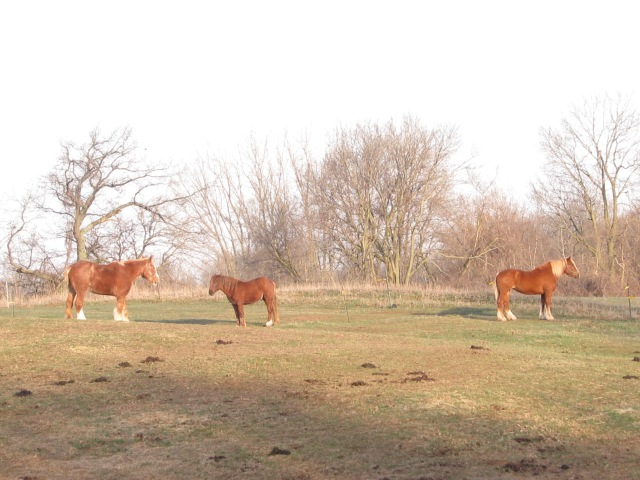 Three horses soaking up the morning sun and waiting for breakfast.