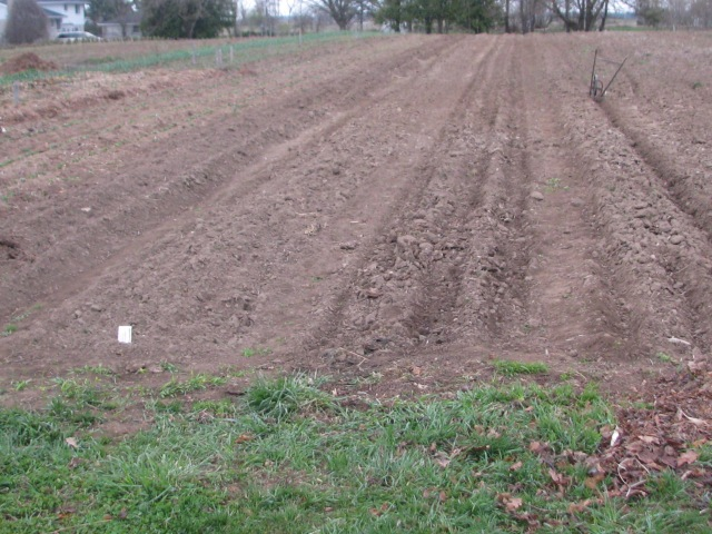 On the far right, a row is being made to plant onion sets. Onions are already in 6 rows to the left of that.