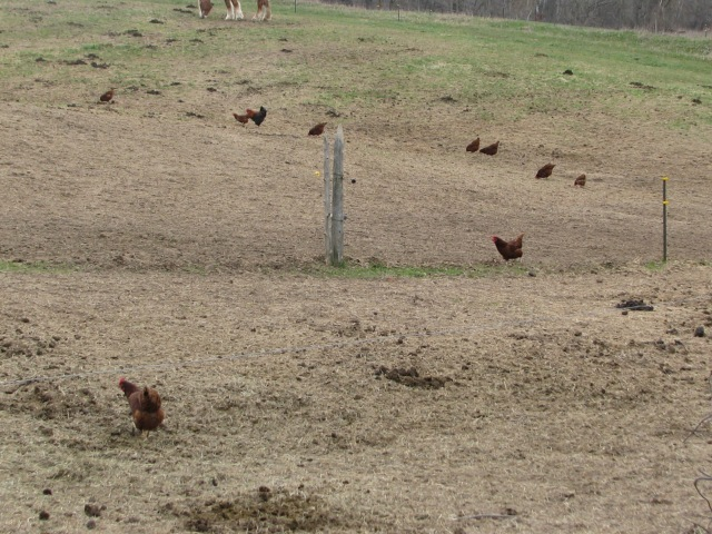 A few chickens scattered across the horse field.