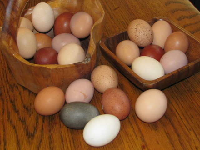 The egg colours rang from the whit of a duck egg in the foreground to dark and light brown shades and pinks and hints of purple to the almost black egg of the Cayuga ducks