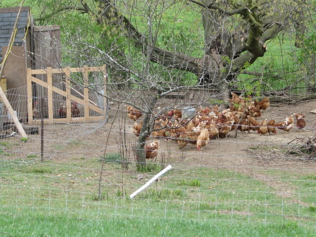 The main laying flock after being let out in the morning