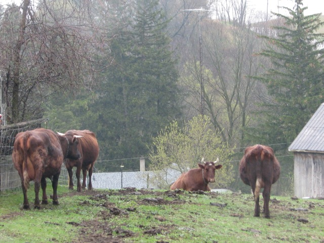 Cows, mists and Monday morning