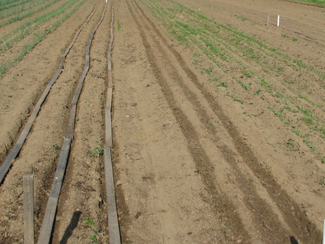 Photoed a day or two ago, the three rows of Parsnip with the boards still on and to the right three rows of spinach from which the boards were just removed a s the spinach had just germinated. Parsnips and spinach have just been watered