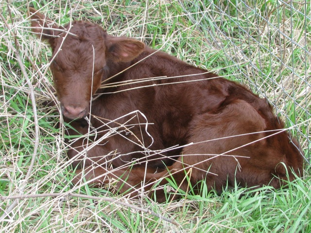New Calf trying to hide