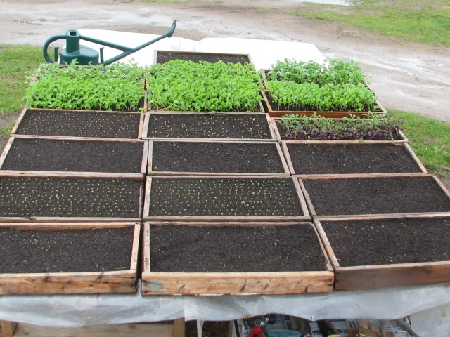 Trays of sprouted veggies and some that are putting on their second set of leaves and which could now go into the garden.