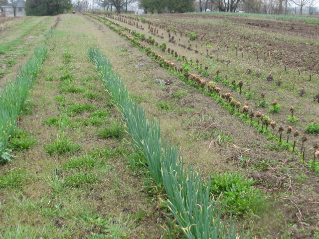 Spring green onions and the overwintered Kale sprouting leaves all along but mostly from the base of the stems