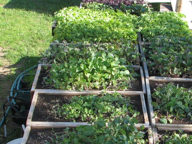 These trays of kale and broccoli are now ready for transplanting.