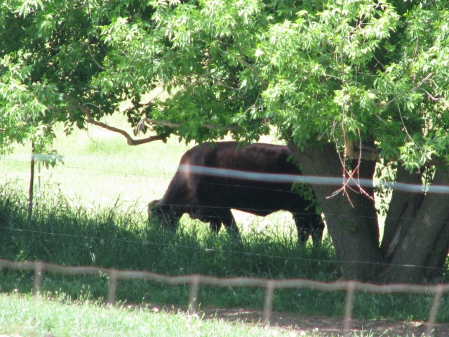 A pleasant spot for a cow to graze on a hot afternoon. The grass grows well in the part shade of this line of Manitoba Maple trees.
