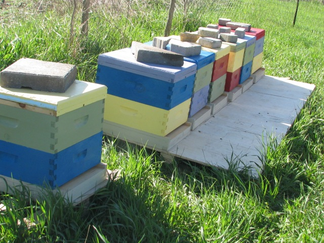 The new hives, cool right now so only one bee about but expect they will get lively as the day warms.