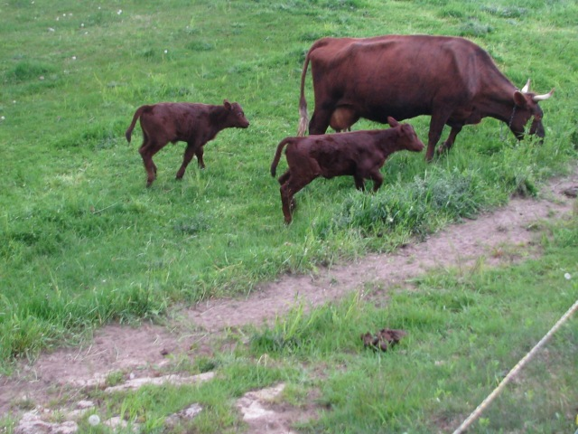 The mother of one of the calves.