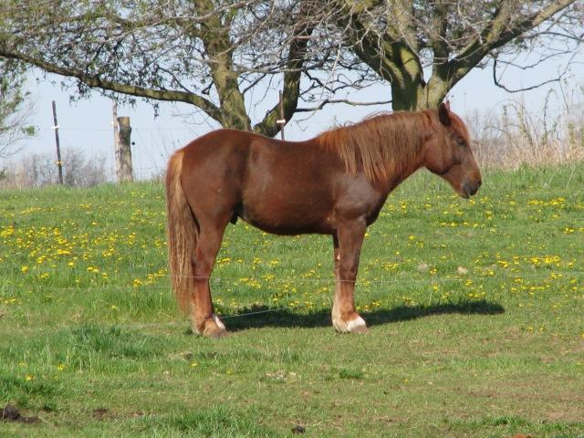 Leucan; a fine looking horse.