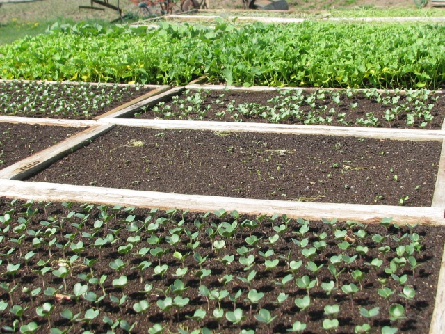 Trays of veggies growing nicely and soon to be planted out