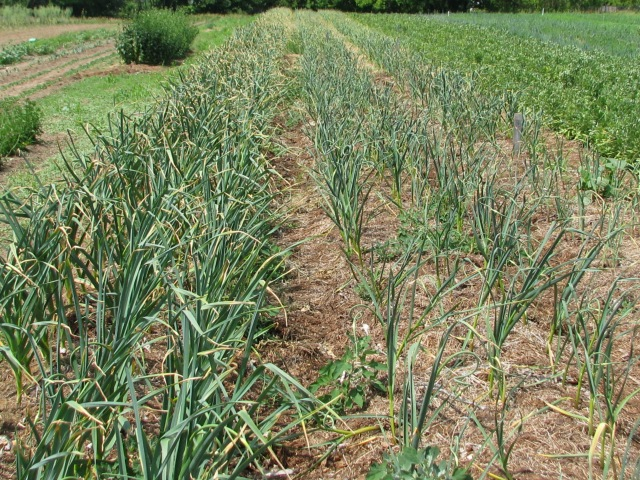 The garlic is looking pretty good now but is still a ways off from harvest