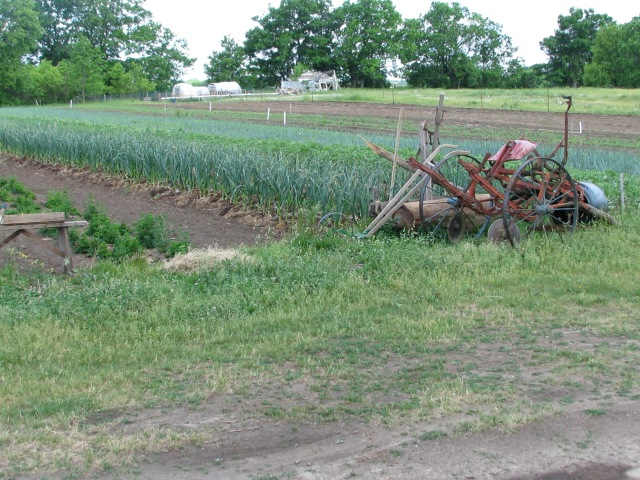 looking across the garlic planting