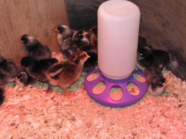 The chicks hiding around their feeder