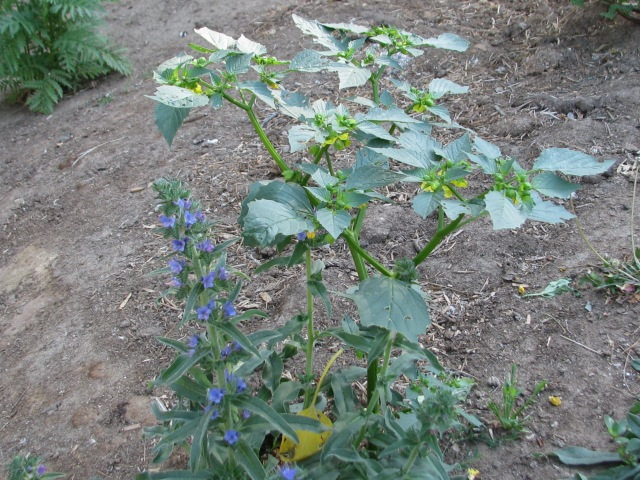 Tomatillo and Viper's Bugloss