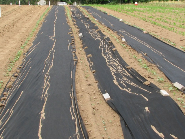 Cucumbers and melons along the plastic fabric mulch