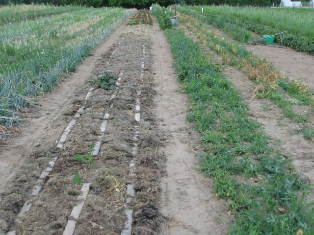 Boards carefully laid on the newly seeded lettuce with a very small amount of the first planting and transplants about midway down.