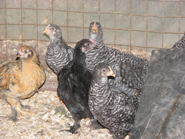 The young chicks are growing really well. There is a Buff Brahma,  a Marans and the rest are Barred Rock.