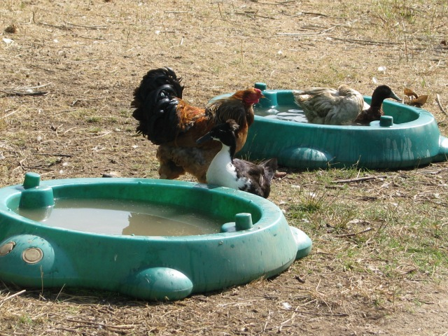The chickens and ducks around and in the duck ponds