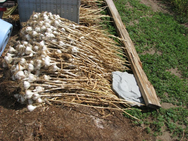 This is the ple of garlic, about 3oo heads, set aside for replanting for next season's harvest.  We'll have to get the beds prepared, and compost spread on then plant the garlic in September. Five to six inches apart in rows about a foot apart.