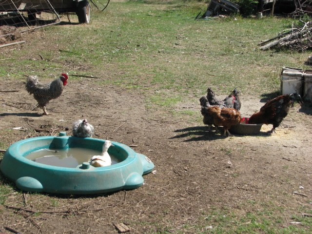 A lone, lowly duck with a Silkie rooster friend and a few of those ordinary everyday common sort of chicken.