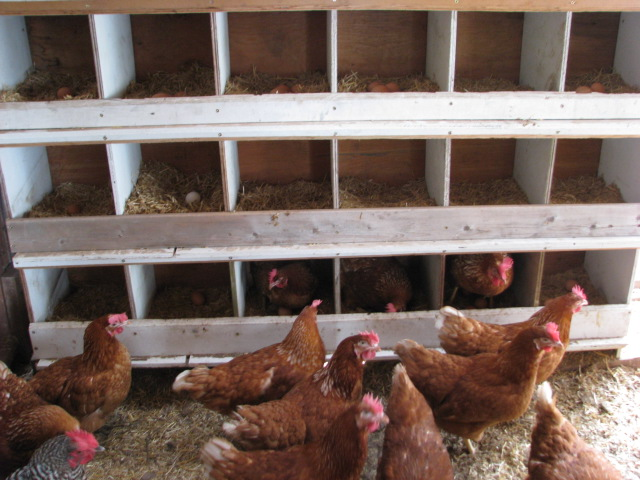 The new hens in and in front of the array of nesting boxes.
