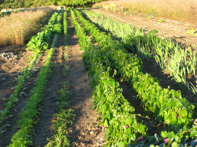 From the left: Komatsuna, Mizuna, Cress, Two rows of beans, badly frosted, gladiolous, seemingly unfazed by frost and at the far right; spinach.