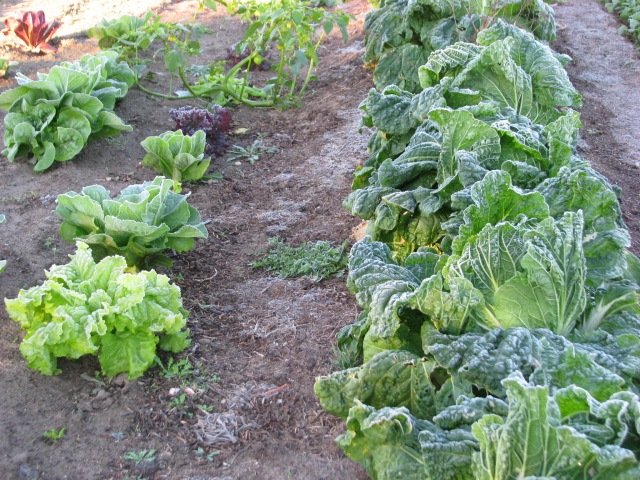 Lettuce and Chinese Cabbage