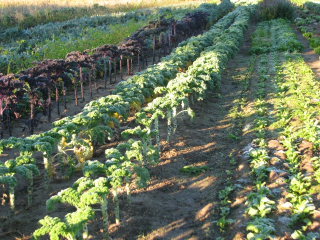 The row to the left is the red Kale and to it's right are two rows of green curled Kale and the several rows of small plants are radishes which should be very nice growing slowly in these mainly cooler temperatures.