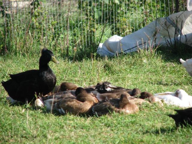 Sleeping ducks. Photo by Briar Simon.