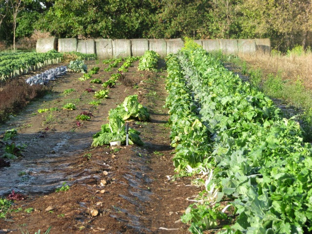 Kale to far left, remnants of the lettuce bed about centre and greens to the right with straw bales in the background ready to roll out.