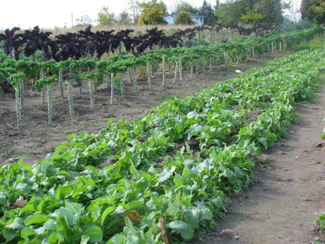 Radishes in the foreground with kale behind. The kale leaves here has been picked over the last two weeks.