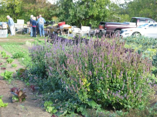 CSA pick up day with Korean mint in the foreground. Photo by Briar Simon.