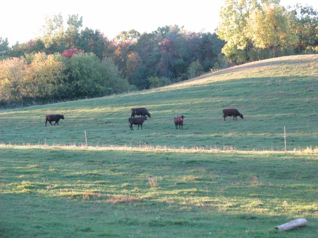 The cattle herd late in the afternoon.