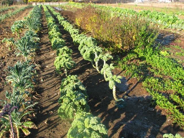 Rows of fall veegies, kale, Korean mint, arugula, and the Asian greens.