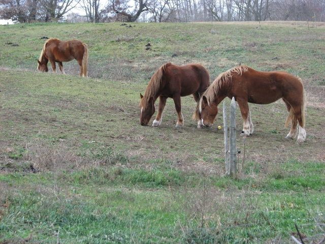 The horses are getting the last little bits of grass while waiting for more hay to be brought to them.
