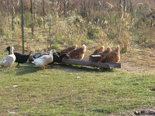 The chickens and ducks on opposite sides of the fence share the same feeder.