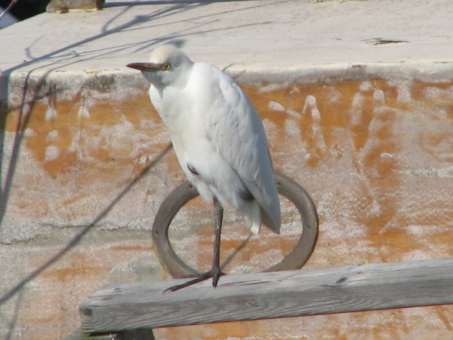 Our Cattle Egret friend.
