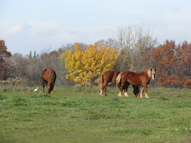 A cattle Egret, three horses and fall colours. The yellow leaves are still mostly on the Large Toothed Aspen and the Red Oaks but the Cottonwood trees in between have lost all their's.