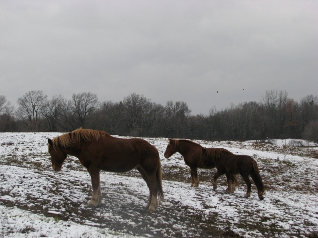 Three horse, three crows, and a snowy pasture.