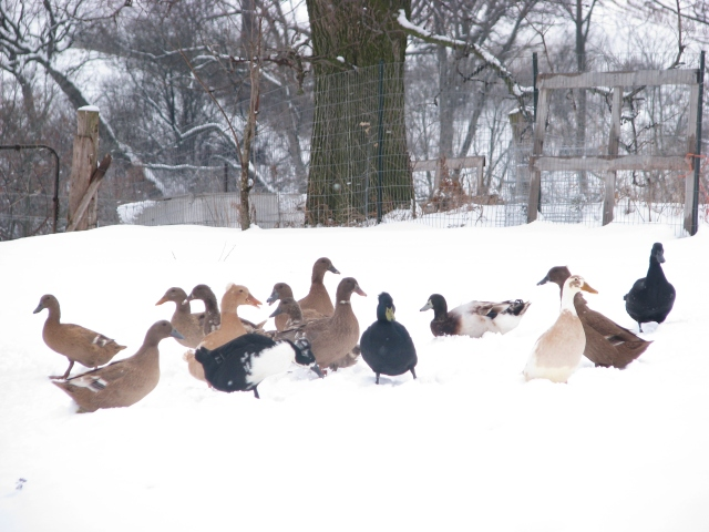 The ducks don't seem to mind the snow too much.