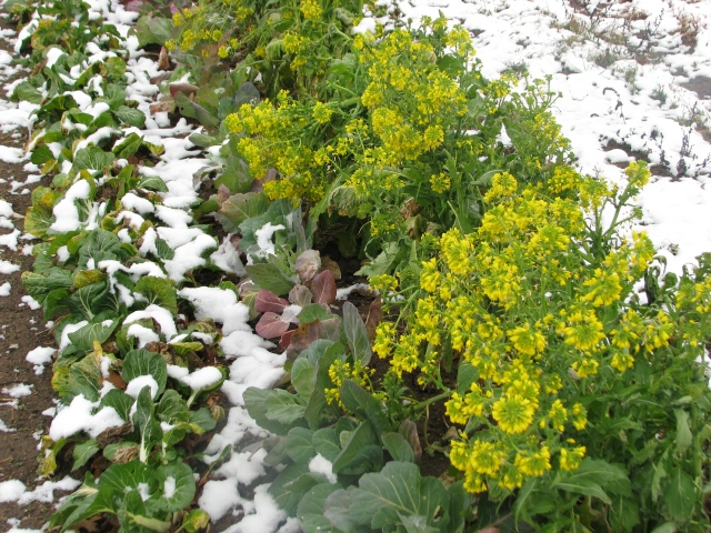 Greens in the snow, bok choi, loose leaf cabbage and rapini still in flower.
