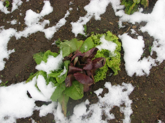 Three little lettuce still surviving even in the snow.