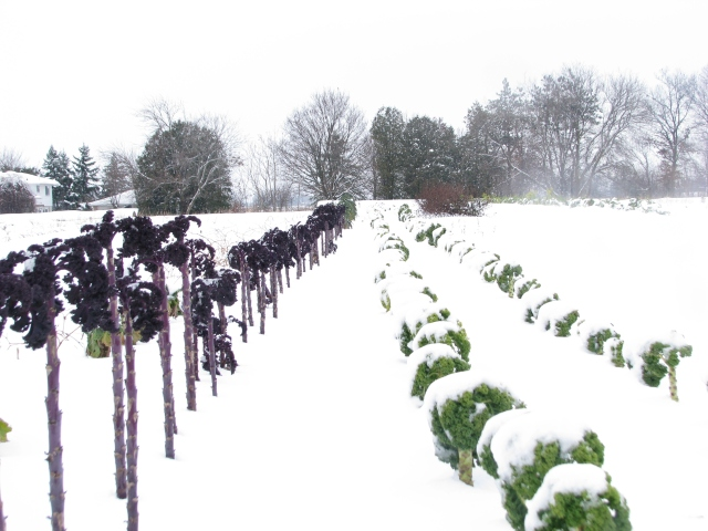 The Kale plants partly covered in snow.
